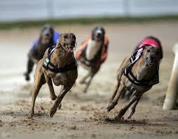winner golden bet greyhound racing picks